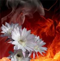 گل يا آتش؟