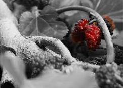 توت سرخ